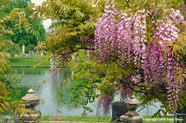 Waterside Wisteria