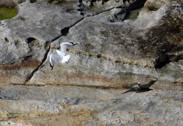 Silver Gull, Chroicocephalus novaehollandiae