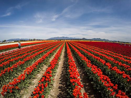 Skagit Valley Tulips-241