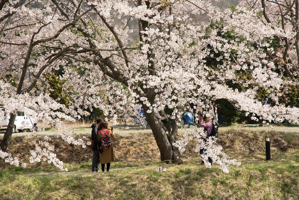 2018-04-13 河口湖の桜 002
