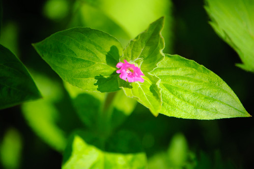 Red campion, flowers opening