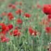 Poppy IMG_4139 RS