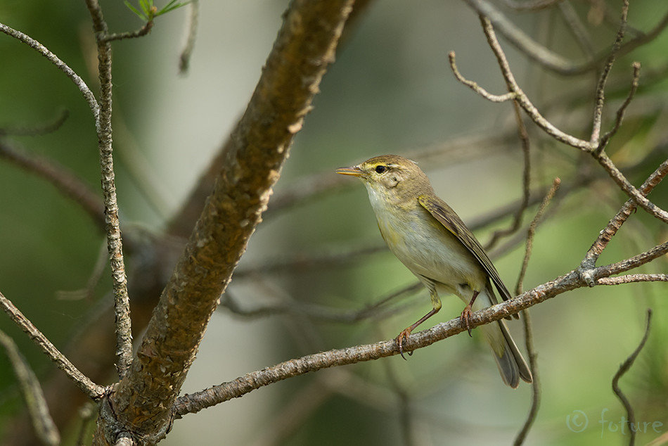 Salu, lehelind, Phylloscopus, trochilus, Willow, Warbler, Estonia, Kaido Rummel