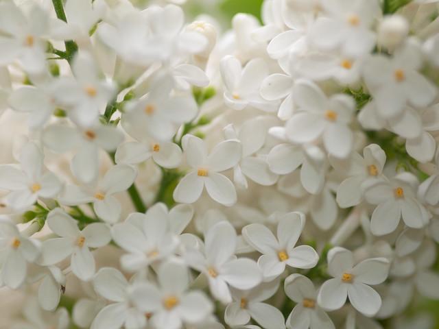 100x.37 - White Lilac, Olympus E-30, SIGMA 105mm F2.8 MACRO