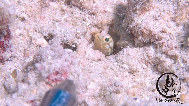指示棒の先より小さい2mmサイズのイエロージョーフィッシュ幼魚ちゃん♪