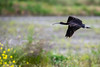 Glossy Ibis by mathurinmalby