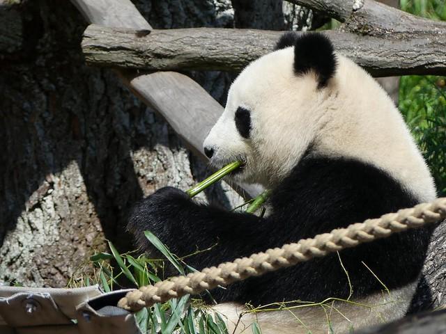 Panda Jiao Qing, Zoo Berlin