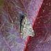 March Moth, Burntisland, Fife, Scotland