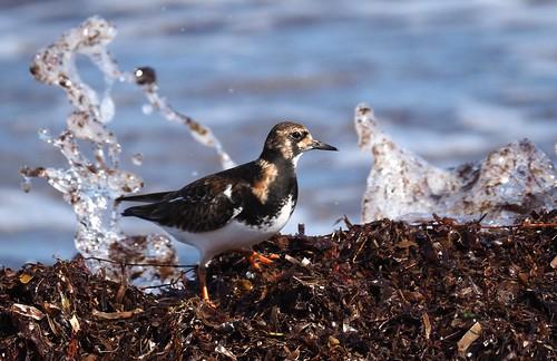 Shorebirds - Ruddy Turnstone