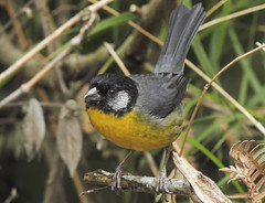 Santa Marta Brush-finch (Atlapetes melanocephalus)