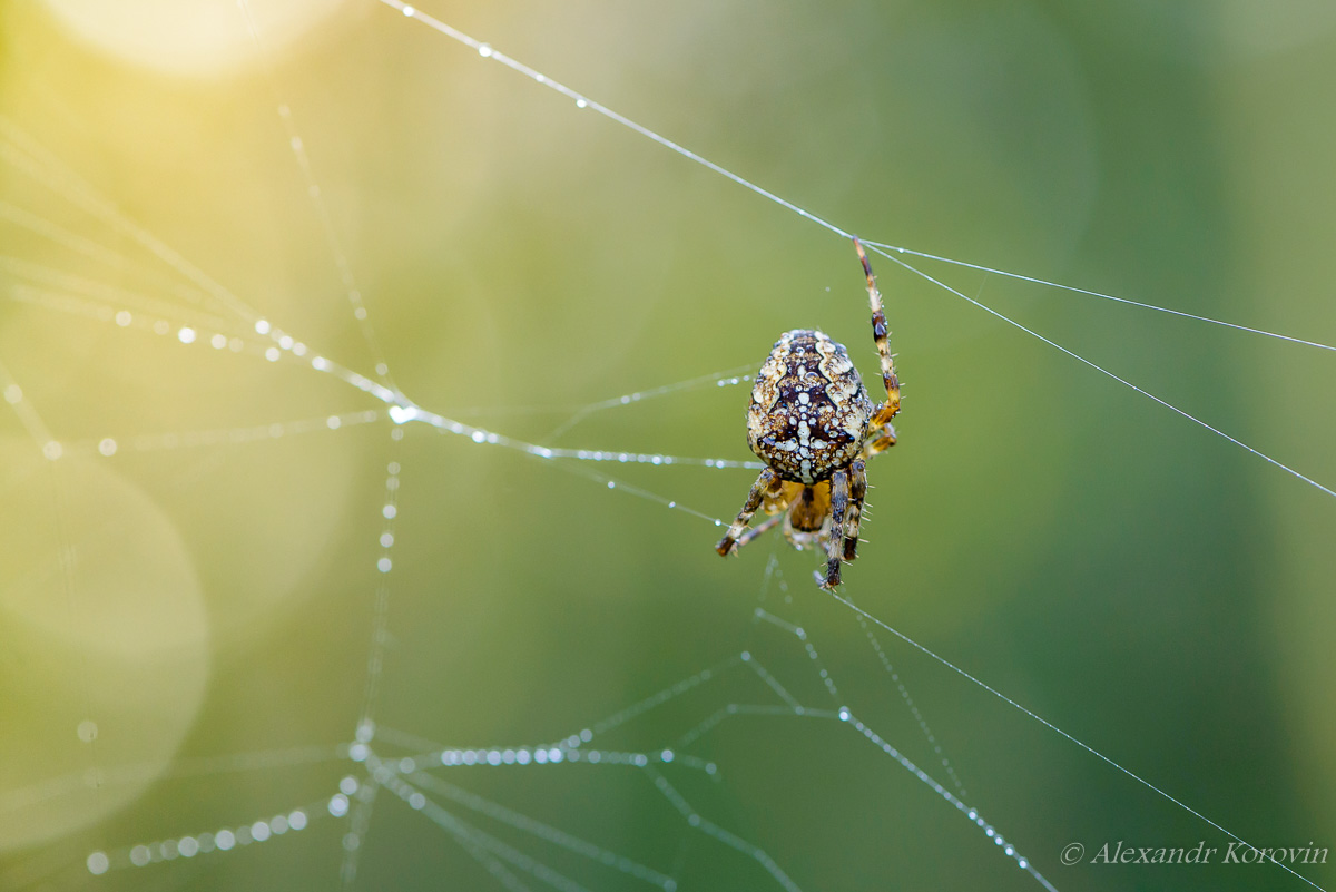 Female spider of garden-spider repairs its web with drops of dew