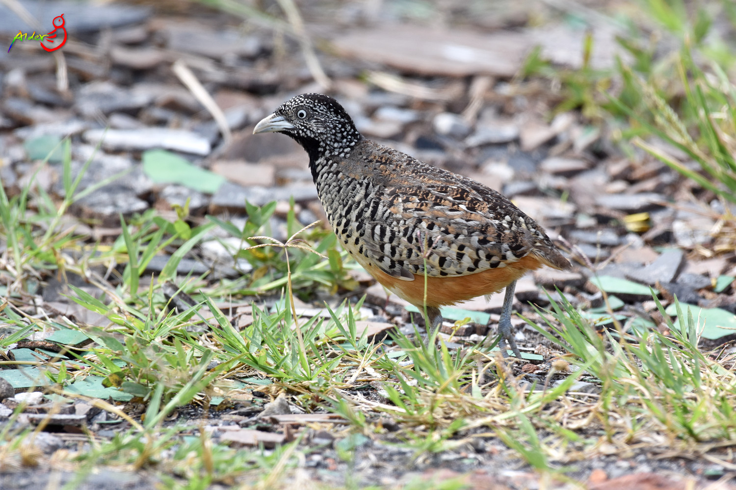 Barred_Buttonquail_4981