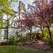 Cherry Blossom @ Port Sunlight