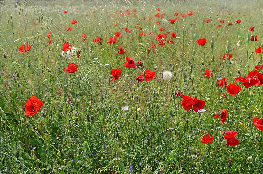 Poppies 06