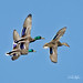 Mallard Fly-by (Explored) by dcstep