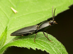 Big Shiny Click Beetle
