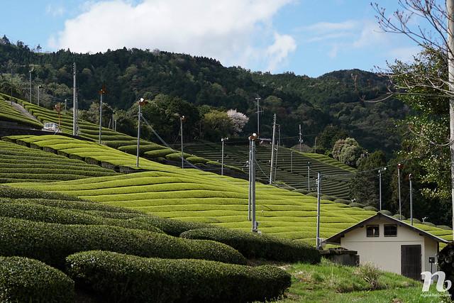 Khám phá đồi chè ở Wazuka, Kyoto