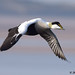 eider 22 2018 male in flight