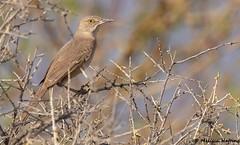 Mimids (Thrashers, Catbirds and Mockingbirds)