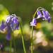Sunny Bluebells