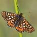 Marsh Fritillary (Euphydryas aurinia) by festoon1