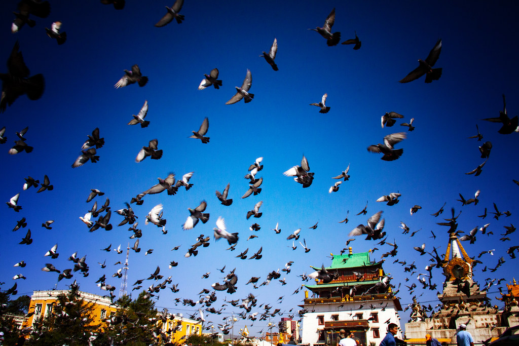 Pigeons Fly In Ulaan Batar, Mongolia