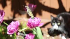 Hummingbird entertaining Erica the cat...