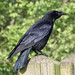 Carrion Crow at Greylake