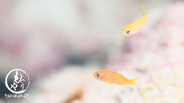 たぶんユカタハタ幼魚(左)とキンギョハナダイ幼魚(右)
