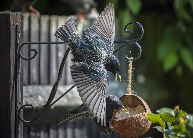 Garden Starlings