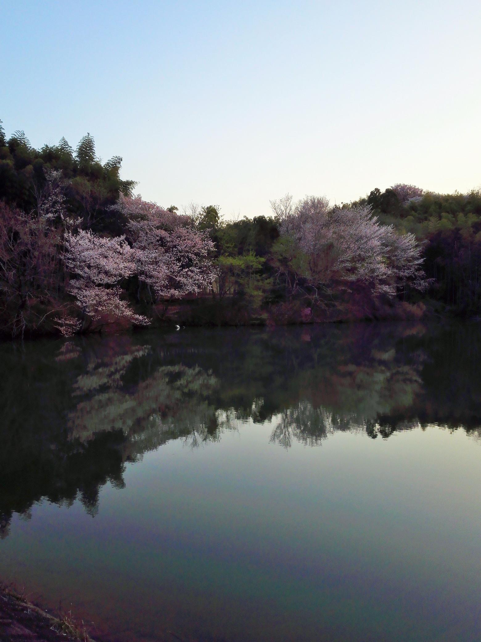 2018年3月31日の桜@ 洛西