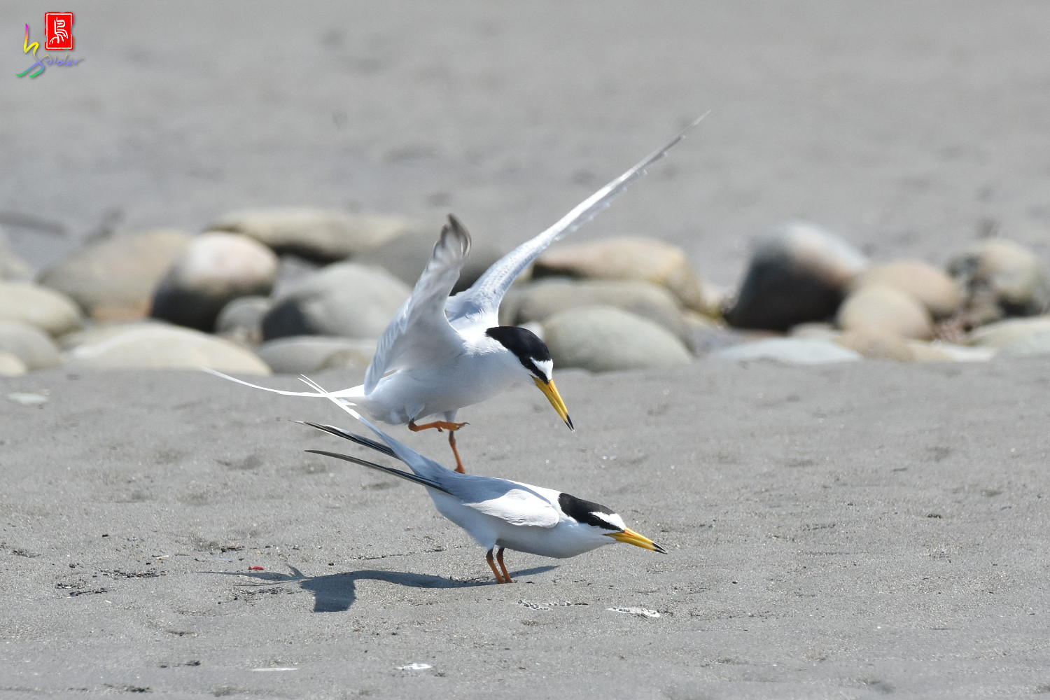 Little_Tern_8670