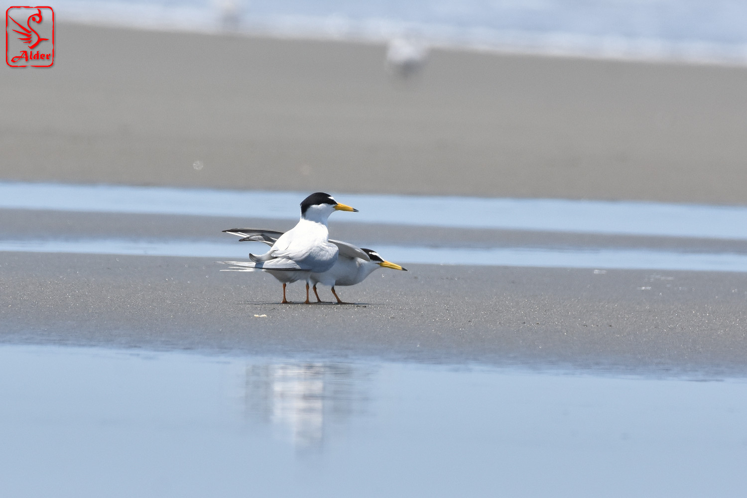 Little_Tern_7830