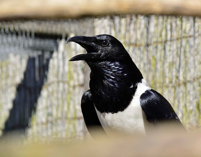 African pied crow..