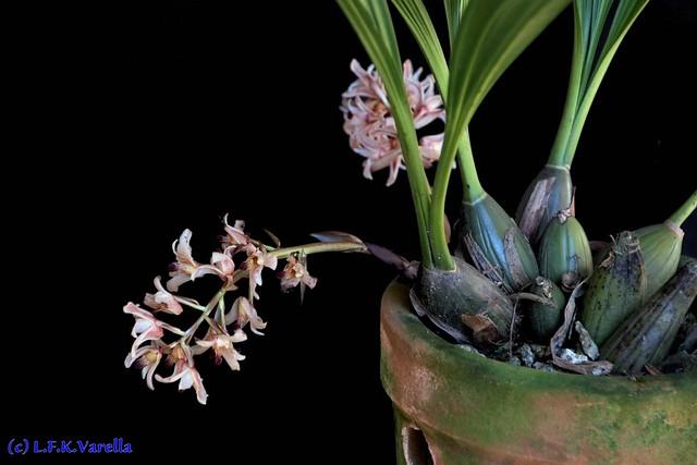 Xylobium variegatum (Xylobium squalens)