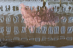 Reflection of pink tree