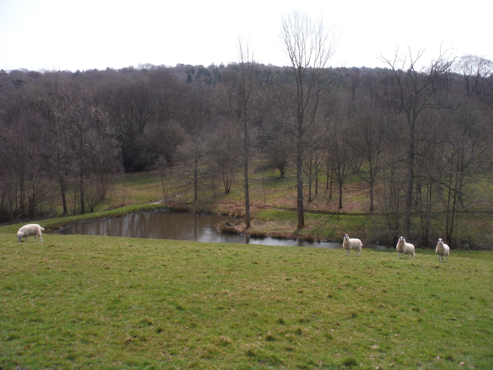 Sheep and Pond south of Spring Hill Farm SWC Walk 27 - East Grinstead to Wivelsfield or Sheffield Park
