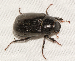 beetle050318