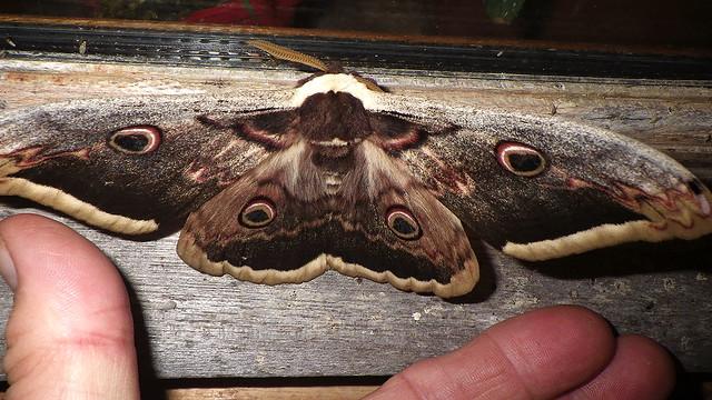 Giant Peacock moth [WG2_4555]