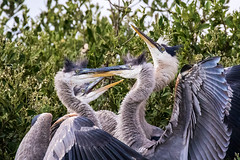 3 Chicks & 1 Great Blue Heron  Adult at Dinner Time