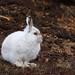 Mountain Hare (Jenny Thynne)