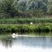 Lago di Alviano - cigni