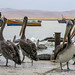 Pelicans waiting for the fish by RoiMarteau