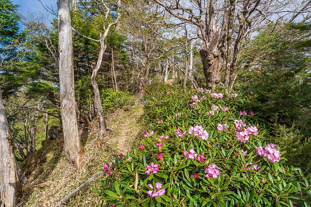 唐松尾山へ向かう稜線に咲くアズマシャクナゲ