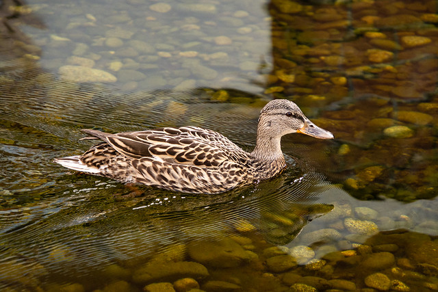 Mallard duck (female)