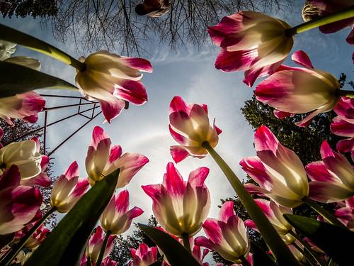 Skagit Valley Tulips-178