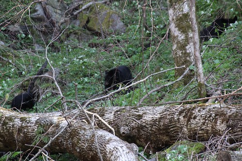 IMG_11833_Bear_&_Cubs_on_Newfound_Gap_Road