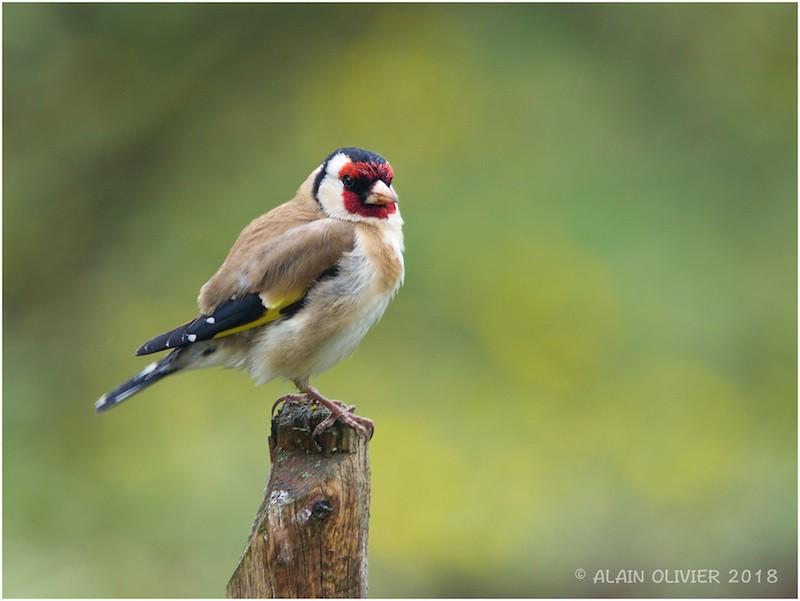 Chardonneret élégant - Carduelis carduelis - European Goldfinch 26998930217_618c065aa7_b