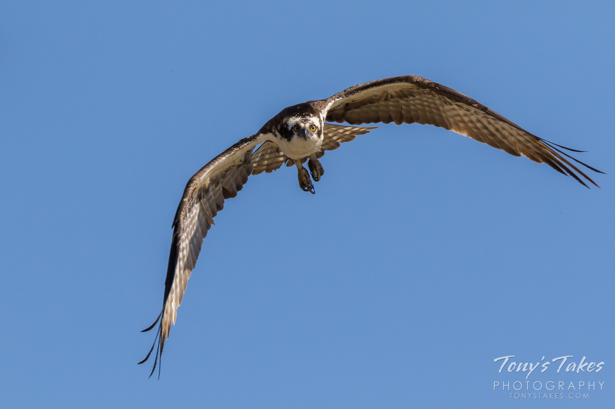 A male osprey flies head on with its eyes focused on the photographer. (© Tony's Takes)