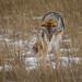 Prairie Coyote - Hunting by Turk Images